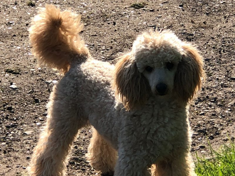 Poodle Stud Dog Buckinghamshire Oxfordshire